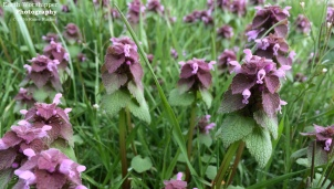 Purple Deadnettle I