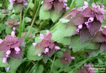 Purple Deadnettle III