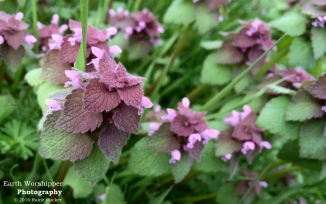 Purple Deadnettle IV