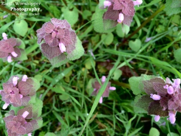 Purple Deadnettle V
